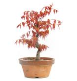 Acer palmatum Katsura, 24 cm, ± 8 jaar oud