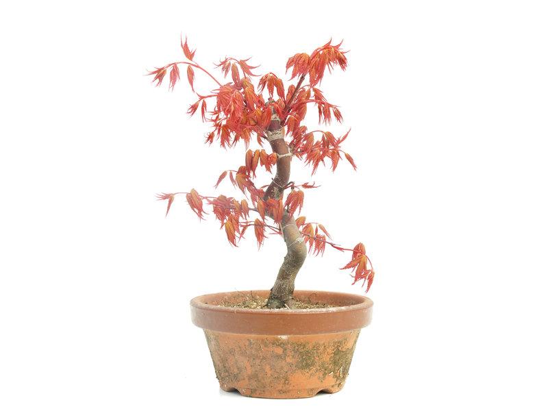 Acer palmatum Katsura, 22 cm, ± 8 jaar oud