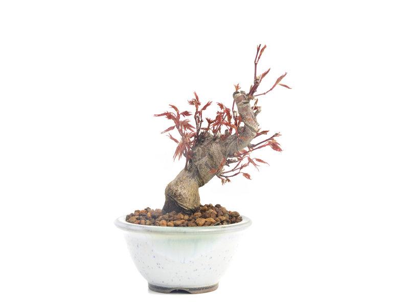 Acer palmatum, 12 cm, ± 10 jaar oud