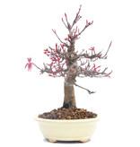 Acer palmatum, 19 cm, ± 30 jaar oud