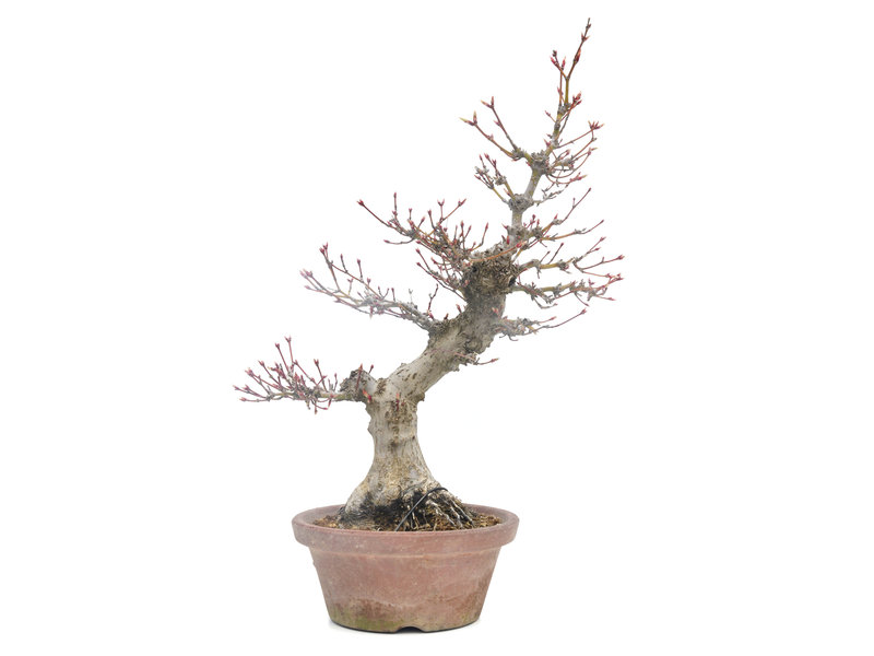 Acer palmatum, 34,5 cm, ± 35 jaar oud, met een nebari van 11 cm