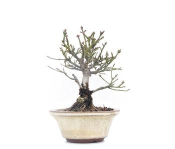 Euonymus alatus, 13,5 cm, ± 15 años