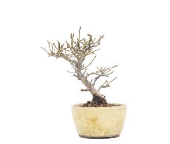 Euonymus alatus, 14 cm, ± 15 años
