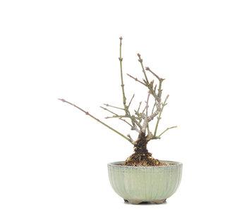Euonymus alatus, 16 cm, ± 15 años