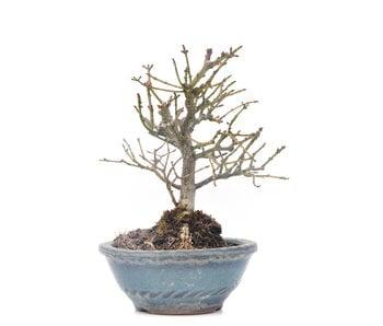 Euonymus alatus, 12,5 cm, ± 15 years old