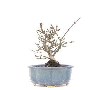 Euonymus alatus, 12 cm, ± 15 jaar oud