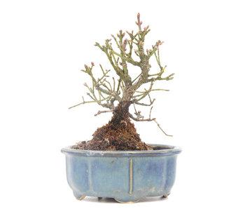 Euonymus alatus, 13,5 cm, ± 15 jaar oud