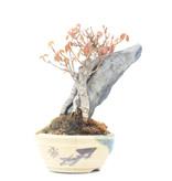 Acer buergerianum, 12 cm, ± 15 jaar oud