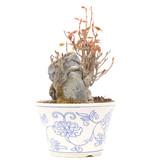Acer buergerianum, 11 cm, ± 20 jaar oud