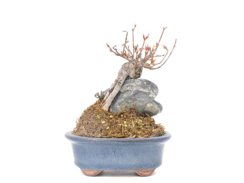 Acer buergerianum, 11,5 cm, ± 20 jaar oud