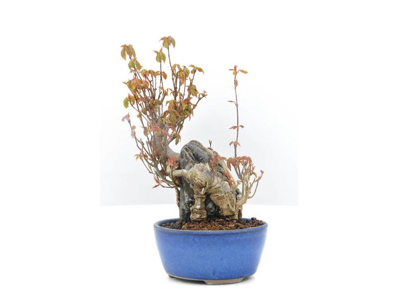 Acer buergerianum, 17,5 cm, ± 20 jaar oud