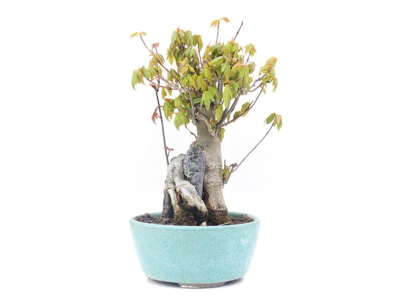 Acer buergerianum, 17 cm, ± 20 jaar oud