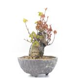 Acer buergerianum, 13,5 cm, ± 20 jaar oud