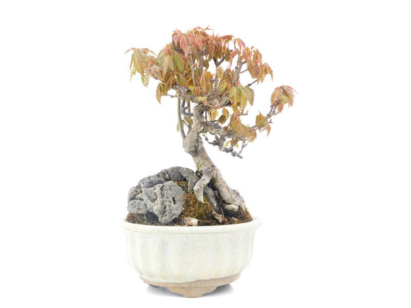 Acer buergerianum, 18,5 cm, ± 20 jaar oud