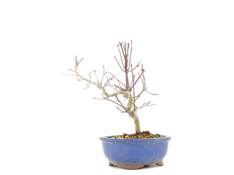 Acer palmatum, 23 cm, ± 8 jaar oud