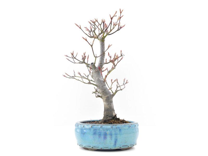 Acer palmatum Momiji, 27 cm, ± 20 jaar oud