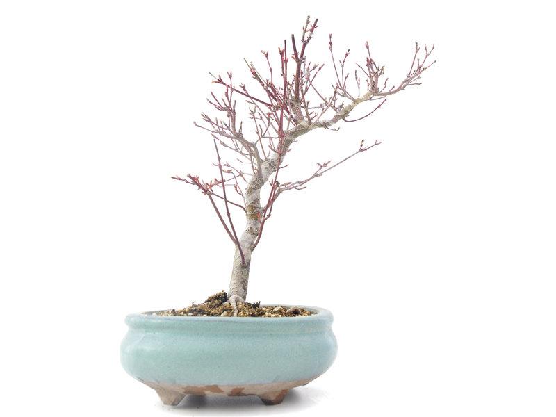 Acer palmatum Momiji, 25,5 cm, ± 8 jaar oud