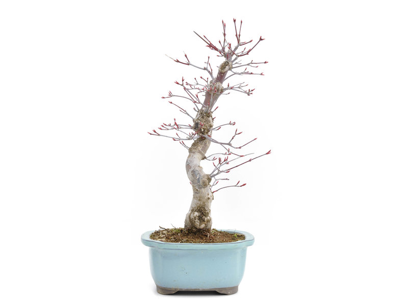 Acer palmatum Deshojo, 36 cm, ± 15 jaar oud