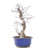Acer palmatum Seigen, 32 cm, ± 15 jaar oud