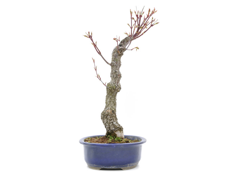 Acer palmatum Arakawa, 45 cm, ± 15 jaar oud