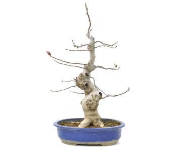 Magnolia soulangeana, 56 cm, ± 15 years old