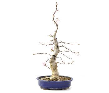 Magnolia soulangeana, 64,5 cm, ± 15 años
