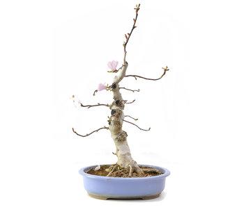 Magnolia soulangeana, 61 cm, ± 15 años