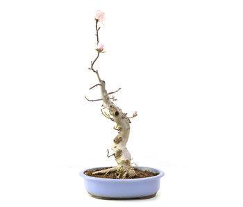 Magnolia soulangeana, 60 cm, ± 15 años