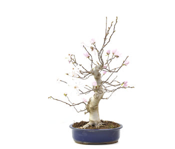 Magnolia soulangeana, 57 cm, ± 15 años
