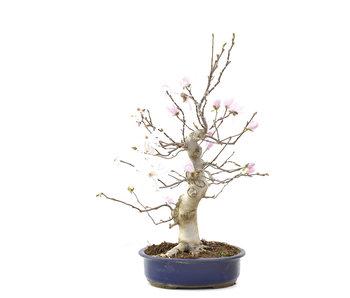 Magnolia soulangeana, 57 cm, ± 15 years old