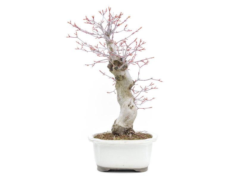 Acer palmatum Katsura, 35 cm, ± 15 jaar oud