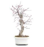 Acer palmatum Deshojo, 39 cm, ± 15 jaar oud