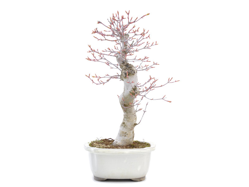 Acer palmatum Katsura, 36 cm, ± 15 jaar oud
