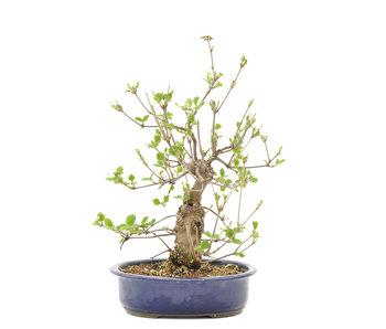 Viburnum Dilatatum, 49 cm, ± 12 years old