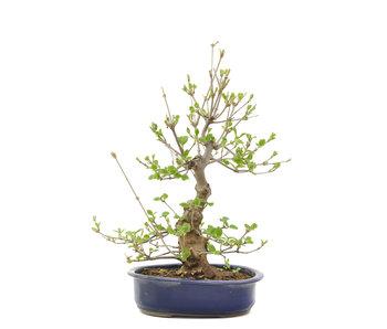 Viburnum Dilatatum, 51 cm, ± 12 jaar oud