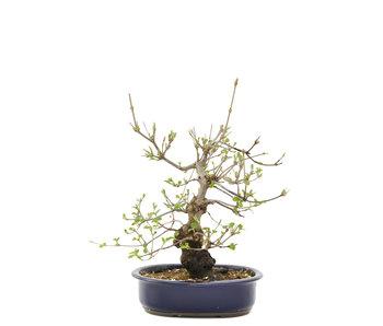 Viburnum Dilatatum, 45 cm, ± 12 jaar oud
