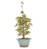Acer buergerianum, 30 cm, ± 15 jaar oud