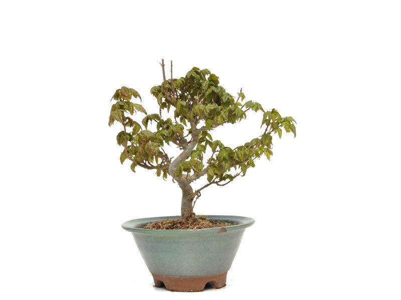 Acer buergerianum, 19 cm, ± 15 jaar oud, met een chipje van de potrand