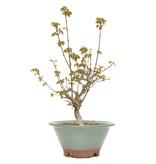 Acer buergerianum, 28 cm, ± 15 jaar oud