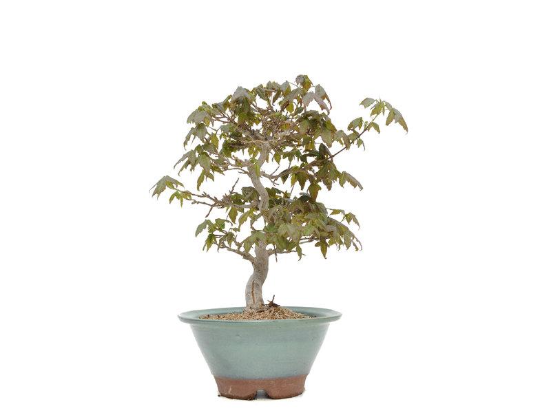 Acer buergerianum, 23,5 cm, ± 15 jaar oud