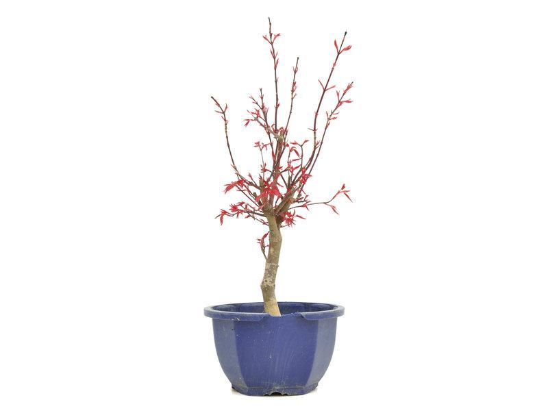Acer palmatum Deshojo, 31,5 cm, ± 6 jaar oud