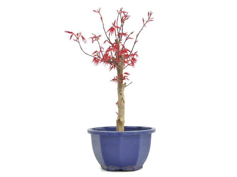 Acer palmatum Deshojo, 28 cm, ± 6 jaar oud