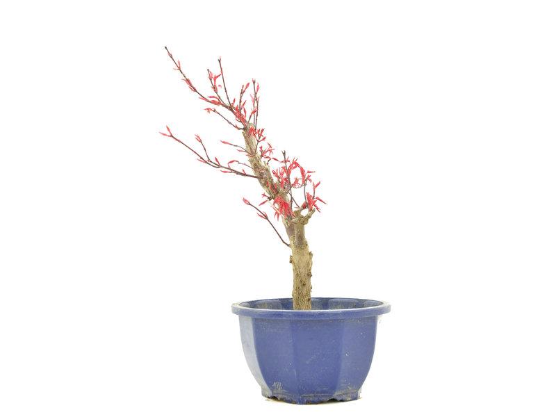 Acer palmatum Deshojo, 27 cm, ± 6 jaar oud