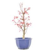 Acer palmatum Deshojo, 31 cm, ± 6 jaar oud