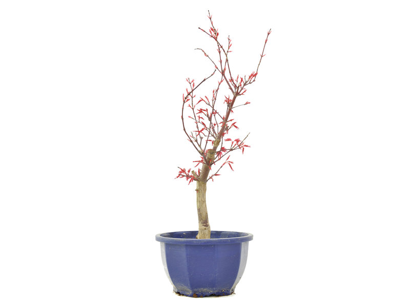 Acer palmatum Deshojo, 34,5 cm, ± 6 jaar oud