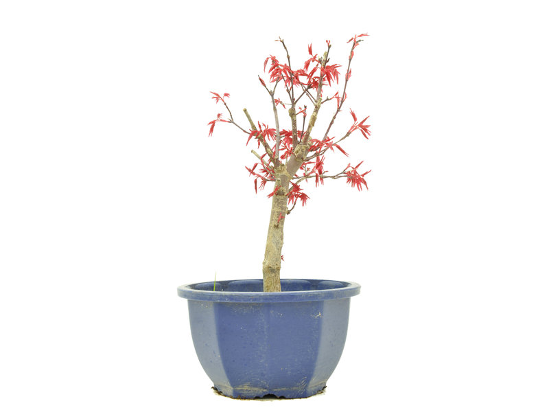 Acer palmatum Deshojo, 22,5 cm, ± 6 jaar oud
