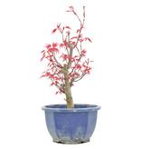 Acer palmatum Deshojo, 25 cm, ± 6 jaar oud