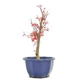 Acer palmatum Deshojo, 26 cm, ± 6 jaar oud