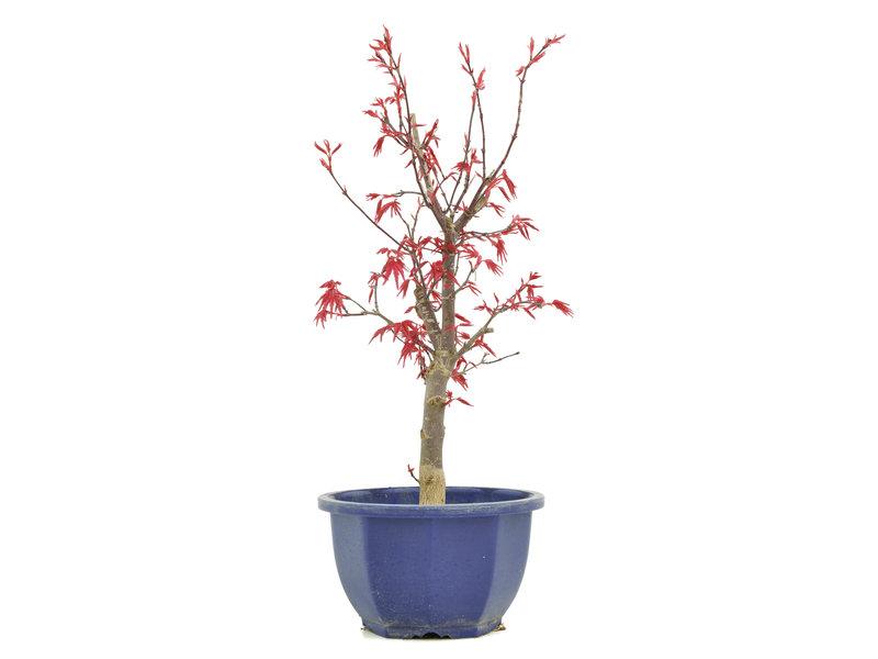 Acer palmatum Deshojo, 30,5 cm, ± 6 jaar oud