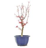 Acer palmatum Deshojo, 33 cm, ± 6 jaar oud